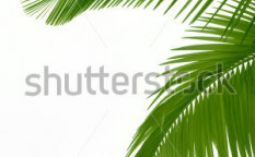 Stock-photo-leaves-of-palm-tree-isolated-on-white-background-103676420