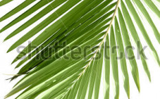 Stock-photo-leaves-of-palm-tree-isolated-on-white-background-36207829