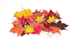 Stock-photo-maple-dry-leaves-isolated-on-white-119070511