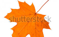 Stock-photo-maple-leaf-on-a-white-background-isolated-44176288