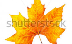 Stock-photo-one-maple-leaf-isolated-on-white-background-8983093