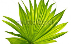 Stock-photo-palm-leaf-isolated-67097935