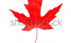 Stock-photo-red-maple-leaf-closeup-35639761