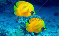 Stock-photo-butterfly-fish-55795534