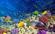 Stock-photo-coral-and-fish-in-the-red-sea-egypt-113462683