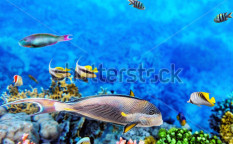 Stock-photo-coral-and-fish-in-the-red-sea-egypt-113881342