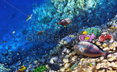 Stock-photo-coral-and-fish-in-the-red-sea-egypt-115445098