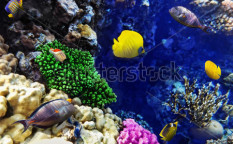 Stock-photo-coral-and-fish-in-the-red-sea-egypt-africa-118870435