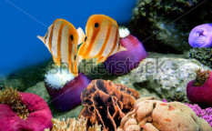Stock-photo-coral-reef-and-copperband-butterflyfish-chelmon-rostratus-73192819