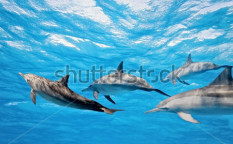 Stock-photo-dolphins-in-the-sea-53199907