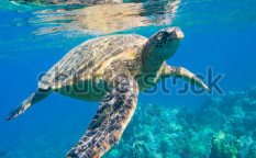 Stock-photo-green-sea-turtle-swimming-in-ocean-sea-92909419