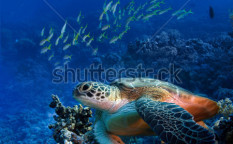 Stock-photo-red-sea-diving-big-sea-turtle-sitting-on-colorful-coral-reef-89290870