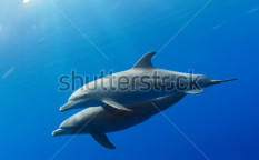 Stock-photo-two-wild-dolphins-playing-in-sunrays-underwater-in-blue-123758044