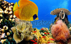Stock-photo-underwater-image-of-coral-reef-and-masked-butterfly-fish-72148981
