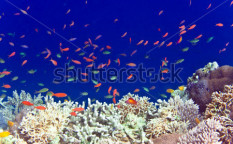 Stock-photo-underwater-world-fishes-in-corals-70146634