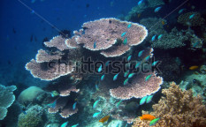 Stock-photo-underwater-world-gili-ringgit-coral-fishes-of-bali-sea-lombok-island-indonesia-18306439