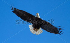 Stock-photo-a-bald-eagle-is-flying-overhead-with-tail-spread-taken-at-the-klamath-basin-wildlife-refuges-107880179