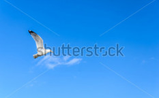 Stock-photo-a-flying-seagull-against-blue-sky-background-135887714