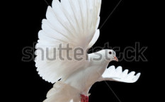 Stock-photo-a-free-flying-white-dove-isolated-on-a-black-background-45605095
