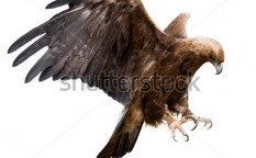 Stock-photo-a-golden-eagle-with-spread-wings-isolated-66451885