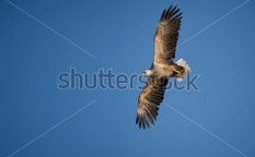 Stock-photo-a-white-tailed-eagle-flying-in-the-evening-light-against-a-clear-blue-sky-120891778