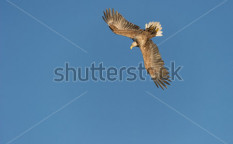Stock-photo-a-white-tailed-eagle-performs-an-aerobatic-roll-to-begin-it-s-swooping-decent-from-around-feet-120902287