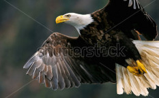 Stock-photo-american-bald-eagle-closeup-in-flight-48369964