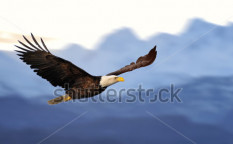 Stock-photo-american-bald-eagle-in-flight-against-illustrated-alaska-mountains-48369331