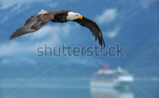 Stock-photo-american-bald-eagle-in-flight-superimposed-over-scene-of-alaska-inside-passage-with-cruise-ship-as-65786344