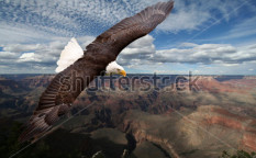 Stock-photo-american-eagle-116361580