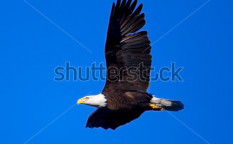 Stock-photo-bald-eagle-against-deep-blue-sky-65212177
