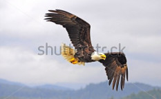 Stock-photo-bald-eagle-british-columbia-canada-113699977