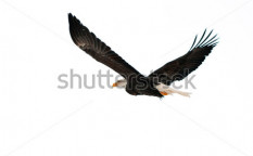 Stock-photo-bald-eagle-haliaeetus-leucocephalus-isolated-on-the-white-against-a-white-background-90699577
