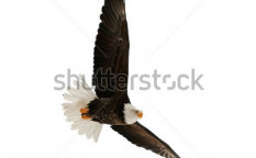 Stock-photo-bald-eagle-haliaeetus-leucocephalus-isolated-on-the-white-against-a-white-background-90701590