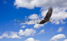 Stock-photo-bald-eagle-in-cloudy-blue-sky-52750663