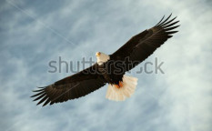 Stock-photo-bald-eagle-in-flight-awaiting-fish-feeding-usa-alaska-chilkat-bald-eagle-preserve-bald-eagle-90327178