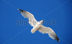 Stock-photo-beautiful-seagull-on-a-background-blue-sky-113967460