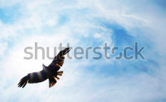 Stock-photo-eagle-fly-103637675