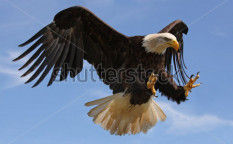 Stock-photo-eagle-in-flight-76125697