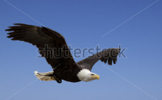 Stock-photo-flying-bald-eagle-100850488