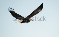 Stock-photo-flying-bald-eagle-a-flying-bald-eagle-againstblue-sky-chilkat-river-alaska-usa-haliaeetus-90699550