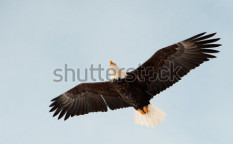 Stock-photo-flying-bald-eagle-a-flying-bald-eagle-againstblue-sky-chilkat-river-alaska-usa-haliaeetus-90699568