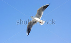 Stock-photo-flying-seagull-130968281