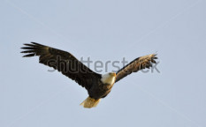 Stock-photo-gliding-eagle-at-sunrise-42969598