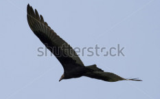 Stock-photo-golden-eagle-looking-for-prey-5429557