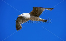 Stock-photo-gull-flying-135617591