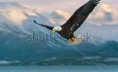 Stock-photo-juvenile-american-bald-eagle-in-flight-in-alaska-and-illustrated-over-homer-harbor-85735895
