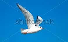 Stock-photo-juvenile-bonaparte-s-gull-flying-across-a-blue-sky-135673190