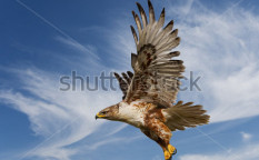 Stock-photo-large-ferruginous-hawk-in-flight-with-blue-sky-background-12772138