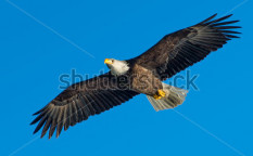 Stock-photo-low-angle-view-of-american-bald-eagle-soaring-against-blue-sky-132704396